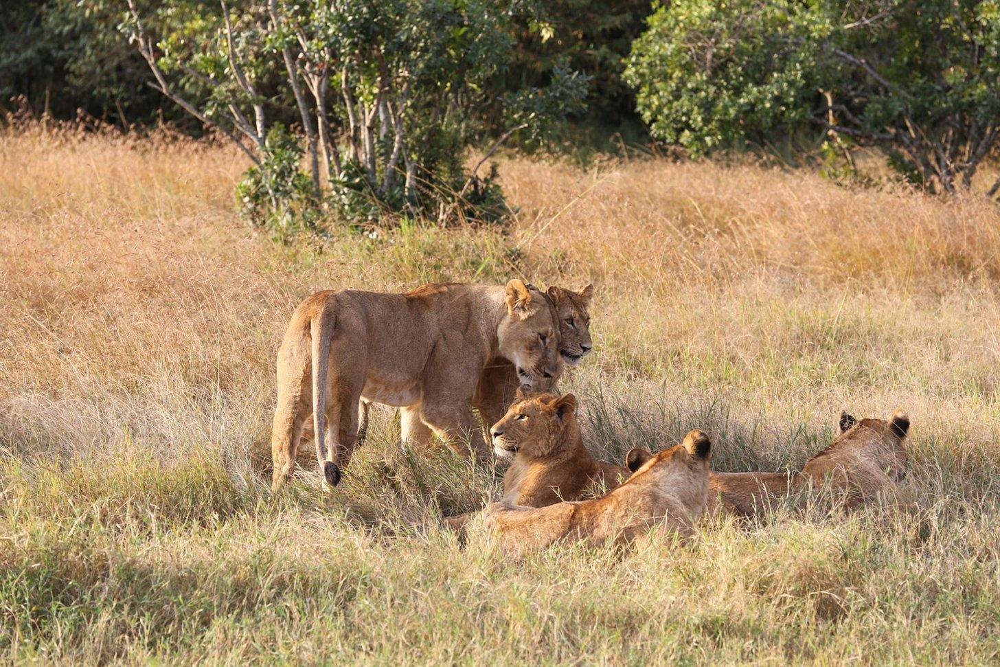 Leeuwen in het wild spotten tijdens de safari